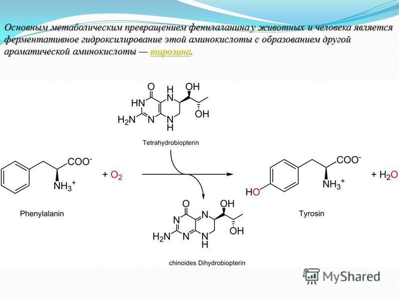 Основным метаболическим превращением фенилаланина у животных и человека является ферментативное гидроксилирование этой аминокислоты с образованием другой ароматической аминокислоты тирозина. тирозина
