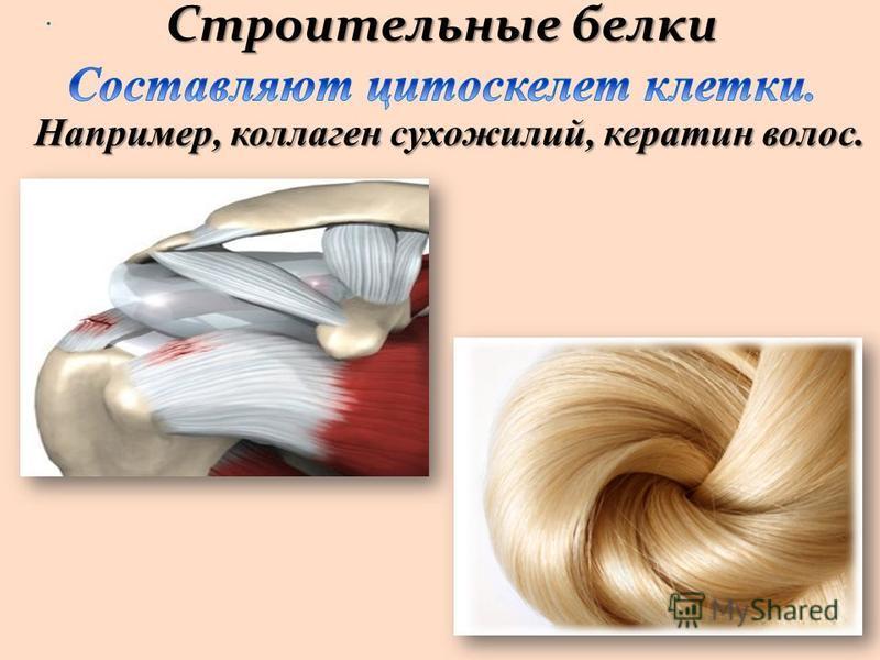 . Строительные белки Строительные белки Например, коллаген сухожилий, кератин волос.