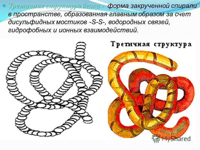 Третичная структура белка - Третичная структура белка - форма закрученной спирали в пространстве, образованная главным образом за счет дисульфидных мостиков -S-S-, водородных связей, гидрофобных и ионных взаимодействий.