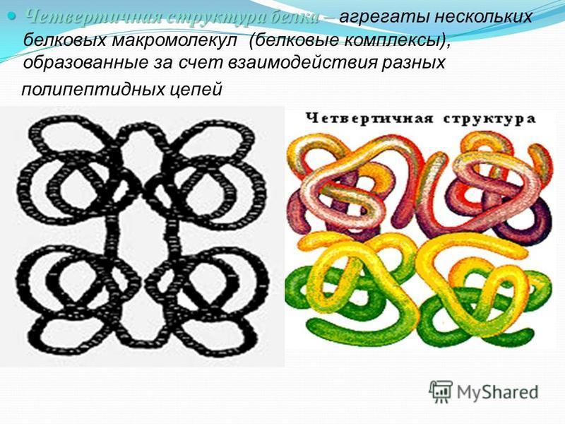 Четвертичная структура белка – Четвертичная структура белка – агрегаты нескольких белковых макромолекул (белковые комплексы), образованные за счет взаимодействия разных полипептидных цепей
