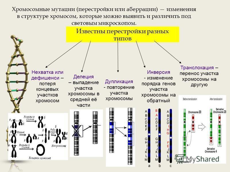 Хромосомные мутации (перестройки или аберрации) изменения в структуре хромосом, которые можно выявить и различить под световым микроскопом. Известны перестройки разных типов Нехватка или дефишенси – потеря концевых участков хромосом Делеция – выпаден