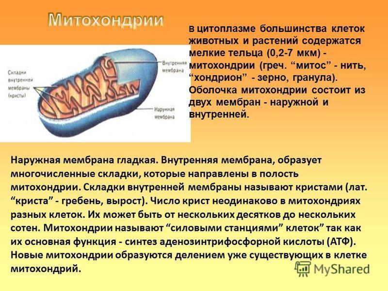 В цитоплазме большинства клеток животных и растений содержатся мелкие тельца (0,2-7 мкм) - митохондрии (греч. митоз - нить, хондрион - зерно, гранула). Оболочка митохондрии состоит из двух мембран - наружной и внутренней. Наружная мембрана гладкая. В