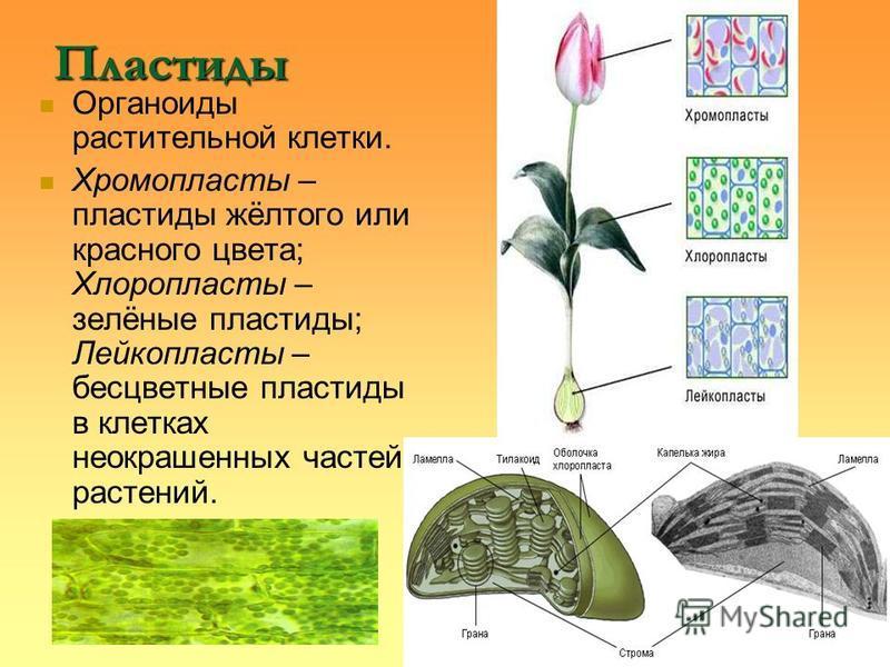 Пластиды Органоиды растительной клетки. Хромопласты – пластиды жёлтого или красного цвета; Хлоропласты – зелёные пластиды; Лейкопласты – бесцветные пластиды в клетках неокрашенных частей растений.