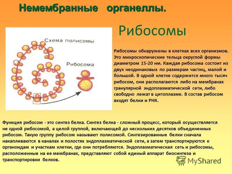 Немембранные органеллы. Немембранные органеллы. Рибосомы Рибосомы обнаружены в клетках всех организмов. Это микроскопические тельца округлой формы диаметром 15-20 нм. Каждая рибосома состоит из двух неодинаковых по размерам частиц, малой и большой. В