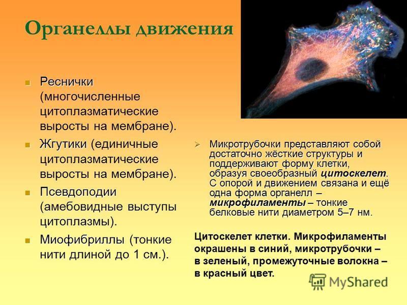 Органеллы движения Реснички Реснички (многочисленные цитоплазматические выросты на мембране). Жгутики Жгутики (единичные цитоплазматические выросты на мембране). Псевдоподии Псевдоподии (амебовидные выступы цитоплазмы). Миофибриллы Миофибриллы (тонки