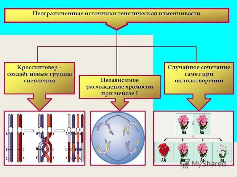 Кроссинговер – создаёт новые группы сцепления Независимое расхождение хромосом при мейозе I Случайное сочетание гамет при оплодотворении Неограниченные источники генетической изменчивости