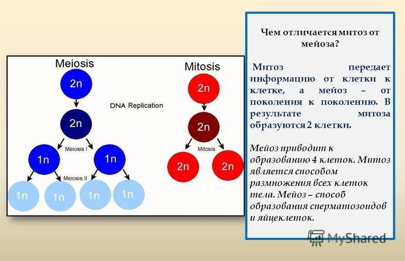 Чем отличается митоз от мейоза? Митоз передает информацию от клетки к клетке, а мейоз – от поколения к поколению. В результате митоза образуются 2 клетки. Мейоз приводит к образованию 4 клеток. Митоз является способом размножения всех клеток тела. Ме