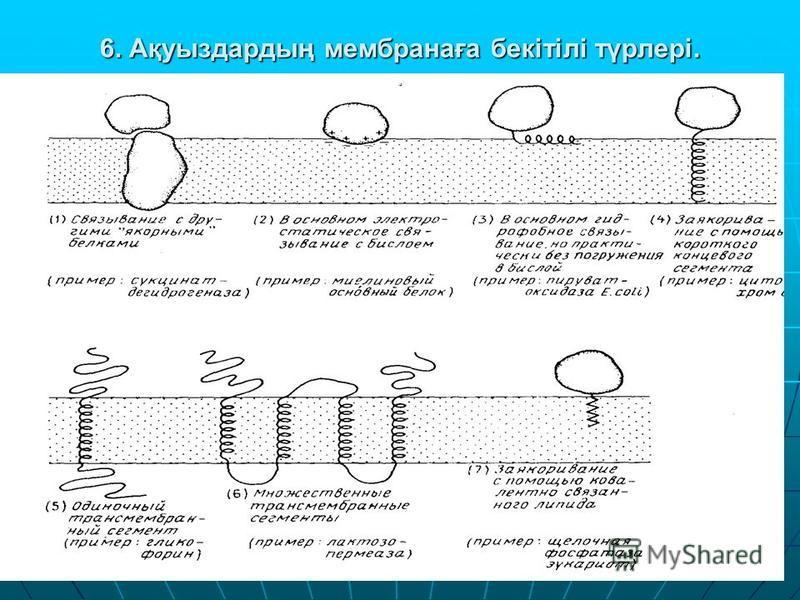 6. Ақуыздардың мембранаға бекітілі түрлері..