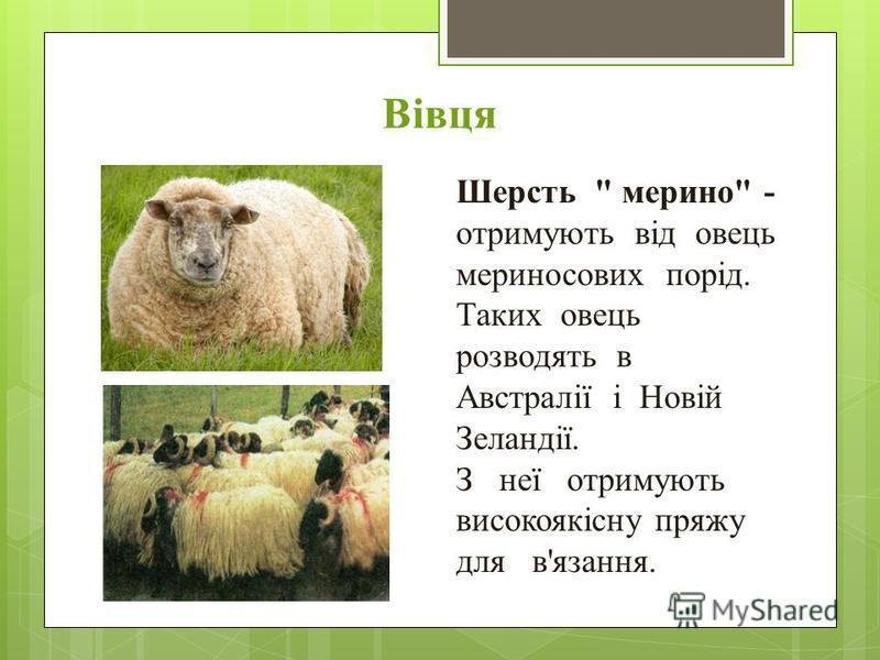 Вівця Шерсть  мерино - отримують від овець мериносових порід. Таких овець розводять в Австралії і Новій Зеландії. З неї отримують високоякісну пряжу для в'язання.