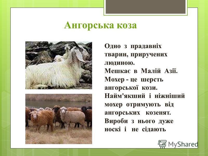 Ангорська коза Одно з прадавніх тварин, приручених людиною. Мешкає в Малій Азії. Мохер - це шерсть ангорської кози. Найм'якший і ніжніший мохер отримують від ангорських козенят. Вироби з нього дуже носкі і не сідають