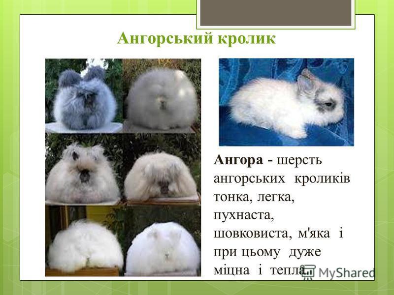 Ангорський кролик Ангора - шерсть ангорських кроликів тонка, легка, пухнаста, шовковиста, м'яка і при цьому дуже міцна і тепла.