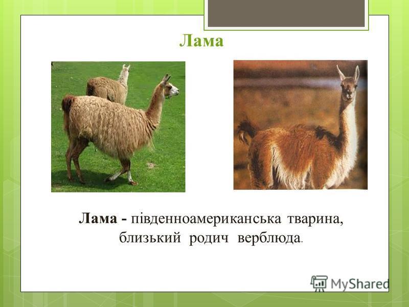Лама Лама - південноамериканська тварина, близький родич верблюда.