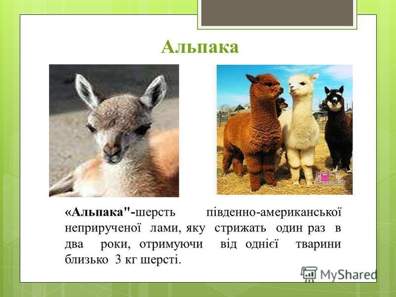 Альпака «Альпака-шерсть південно-американської неприрученої лами, яку стрижать один раз в два роки, отримуючи від однієї тварини близько 3 кг шерсті.