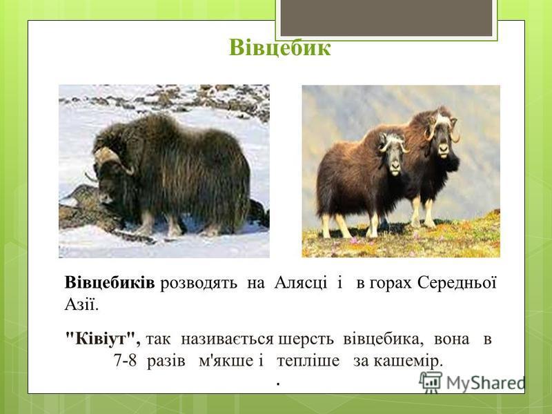 Вівцебик Вівцебиків розводять на Алясці і в горах Середньої Азії. Ківіут, так називається шерсть вівцебика, вона в 7-8 разів м'якше і тепліше за кашемір..