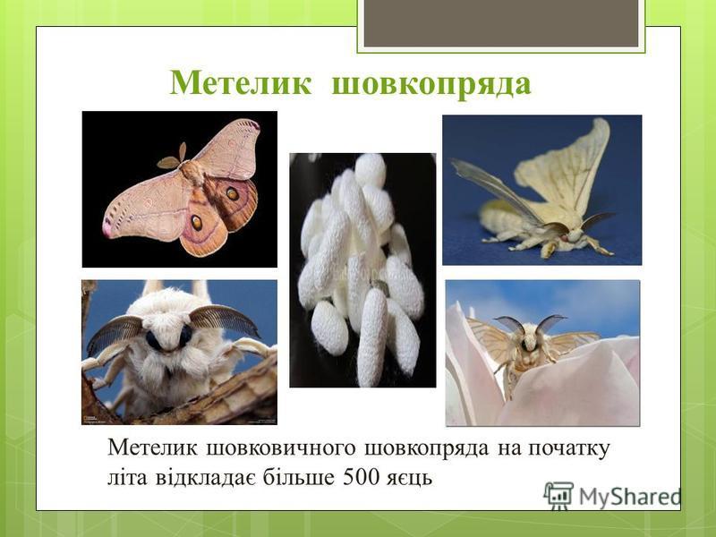 Метелик шовковичного шовкопряда на початку літа відкладає більше 500 яєць Метелик шовкопряда