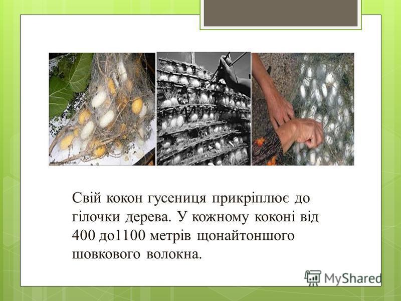 Свій кокон гусениця прикріплює до гілочки дерева. У кожному коконі від 400 до1100 метрів щонайтоншого шовкового волокна.