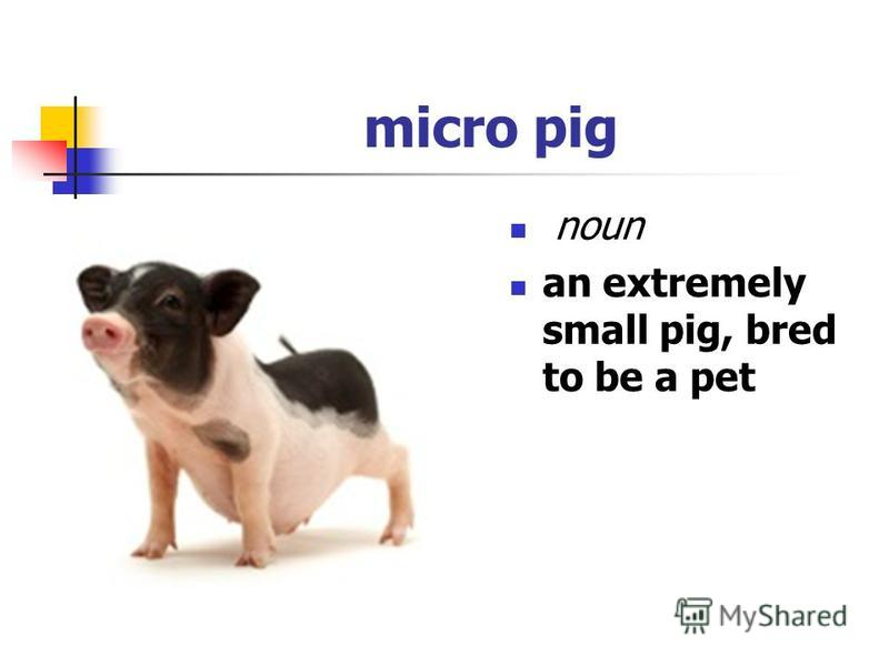 micro pig noun an extremely small pig, bred to be a pet
