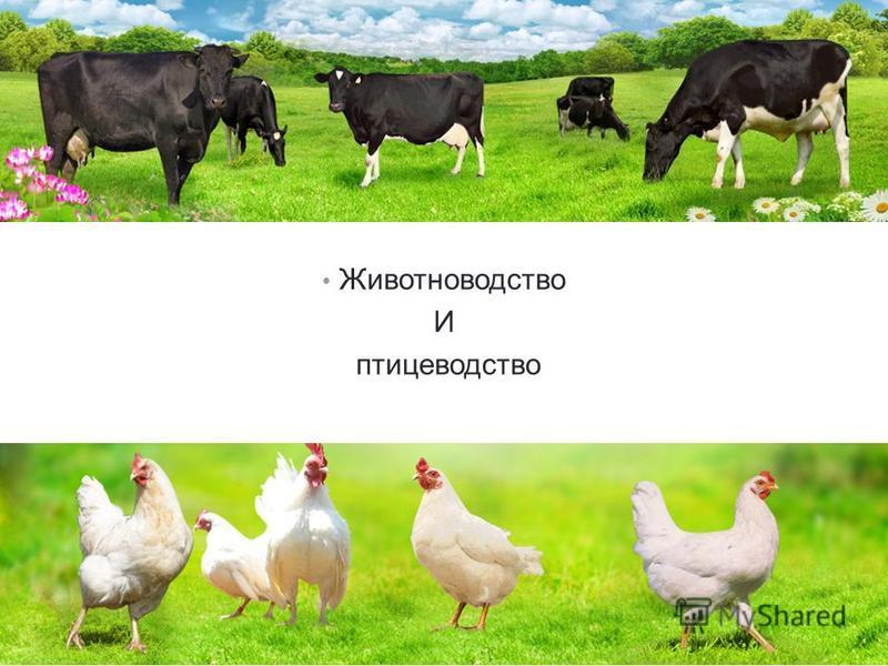 Животноводство И птицеводство