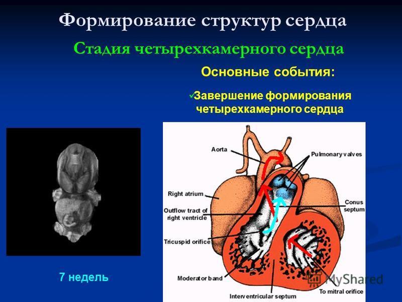 Формирование структур сердца Стадия четырехкамерного сердца Завершение формирования четырехкамерного сердца Основные события: 7 недель
