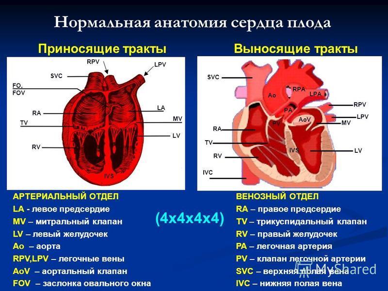 Нормальная анатомия сердца плода АРТЕРИАЛЬНЫЙ ОТДЕЛ LA - левое предсердие MV – митральный клапан LV – левый желудочек Ao – аорта RPV,LPV – легочные вены AoV – аортальный клапан FOV – заслонка овального окна SVC FO, FOV RA TV RV LV MV LA LPV RPV IVS В