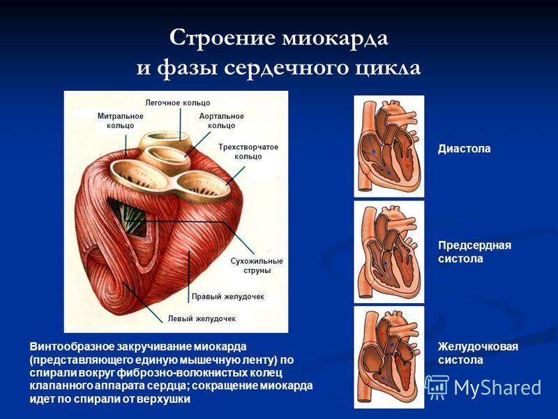 Строение миокарда и фазы сердечного цикла Митральное кольцо Легочное кольцо Аортальное кольцо Трехстворчатое кольцо Сухожильные струны Правый желудочек Левый желудочек Винтообразное закручивание миокарда (представляющего единую мышечную ленту) по спи