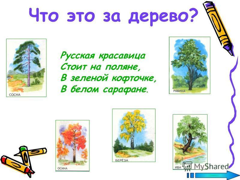 Что это за дерево? Русская красавица Стоит на поляне, В зеленой кофточке, В белом сарафане. РЯБИНА