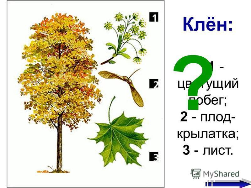 Клён: 1 - цветущий побег; 2 - плод- крылатка; 3 - лист. ?