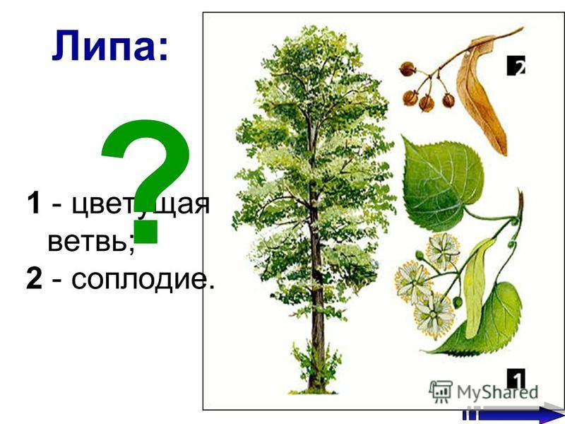 Липа: 1 - цветущая ветвь; 2 - соплодие. ?