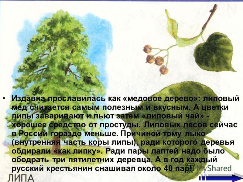 Издавна прославилась как «медовое дерево»: липовый мед считается самым полезным и вкусным. А цветки липы заваривают и пьют затем «липовый чай» - хорошее средство от простуды. Липовых лесов сейчас в России гораздо меньше. Причиной тому лыко (внутрення