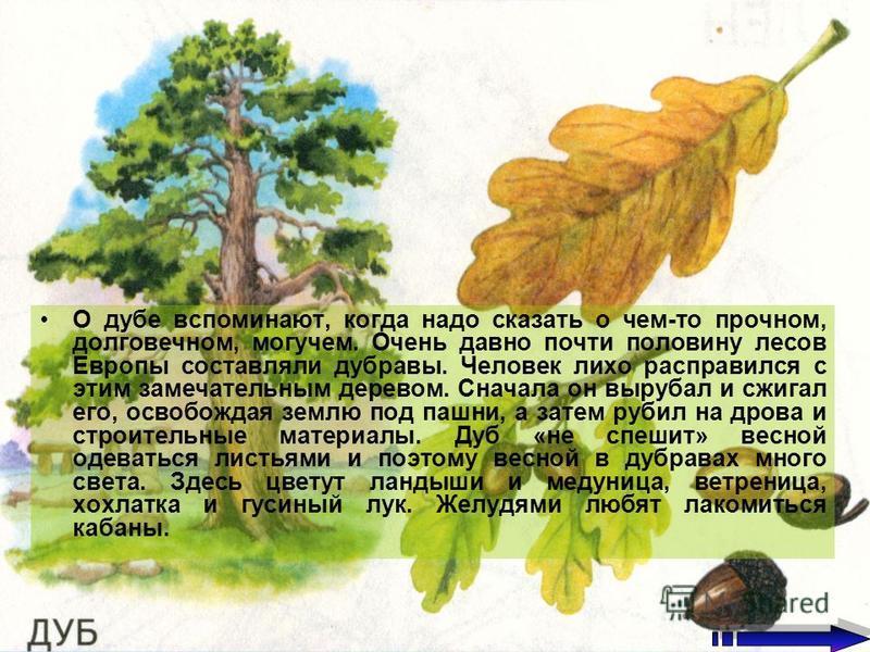 О дубе вспоминают, когда надо сказать о чем-то прочном, долговечном, могучем. Очень давно почти половину лесов Европы составляли дубравы. Человек лихо расправился с этим замечательным деревом. Сначала он вырубал и сжигал его, освобождая землю под паш