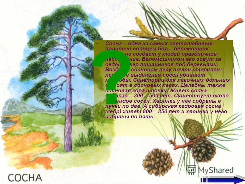 Сосна – одна из самых светолюбивых. Залитый солнцем бор – беломошник невольно создает у людей праздничное настроение. Беломошником его зовут за седой ковер лишайников под деревьями. Воздух в сосновом лесу почти стерилен: летучие выделения сосен убива
