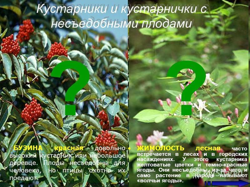 Кустарники и кустарнички с несъедобными плодами ЖИМОЛОСТЬ лесная часто встречается в лесах и в городских насаждениях. У этого кустарника желтоватые цветки и темно-красные ягоды. Они несъедобны, из-за чего и само растение в народе называют «волчьи яго