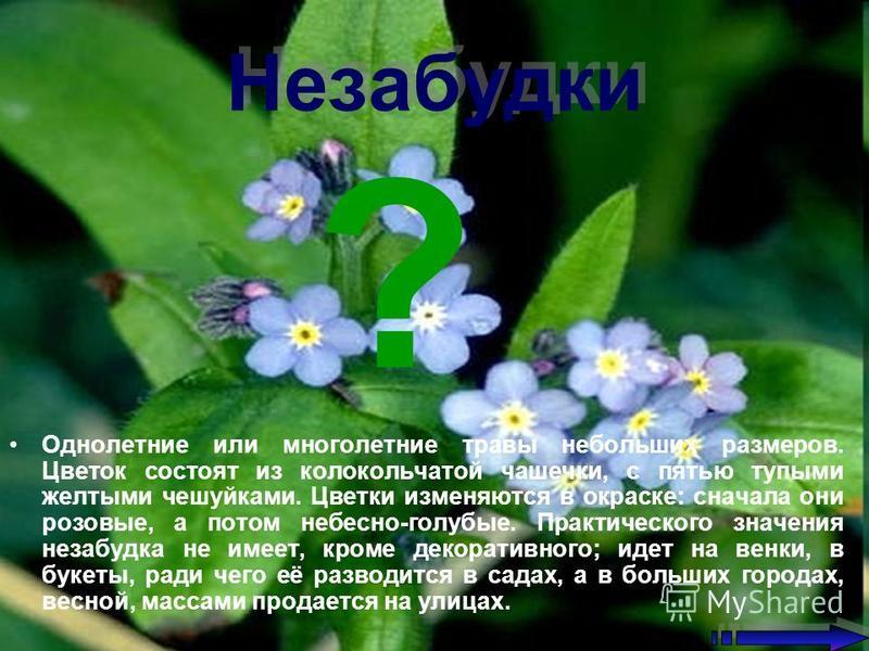 Незабудки Незабудки Однолетние или многолетние травы небольших размеров. Цветок состоят из колокольчатой чашечки, с пятью тупыми желтыми чешуйками. Цветки изменяются в окраске: сначала они розовые, а потом небесно-голубые. Практического значения неза