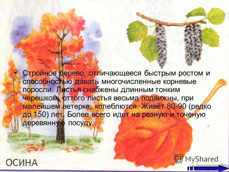 Стройное дерево, отличающееся быстрым ростом и способностью давать многочисленные корневые поросли. Листья снабжены длинным тонким черешком, оттого листья весьма подвижны, при малейшем ветерке, колеблются. Живёт 80-90 (редко до 150) лет. Более всего