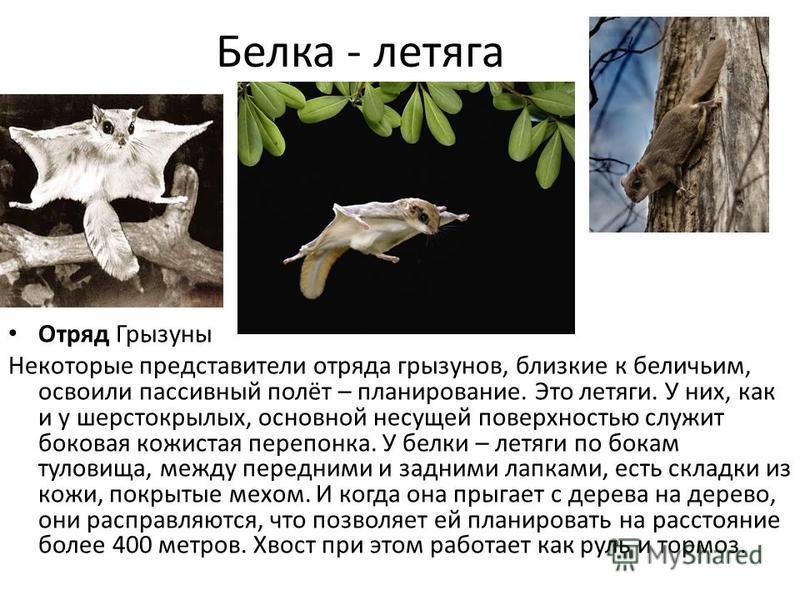 Белка - летяга Отряд Грызуны Некоторые представители отряда грызунов, близкие к беличьим, освоили пассивный полёт – планирование. Это летяги. У них, как и у шерстокрылых, основной несущей поверхностью служит боковая кожистая перепонка. У белки – летя