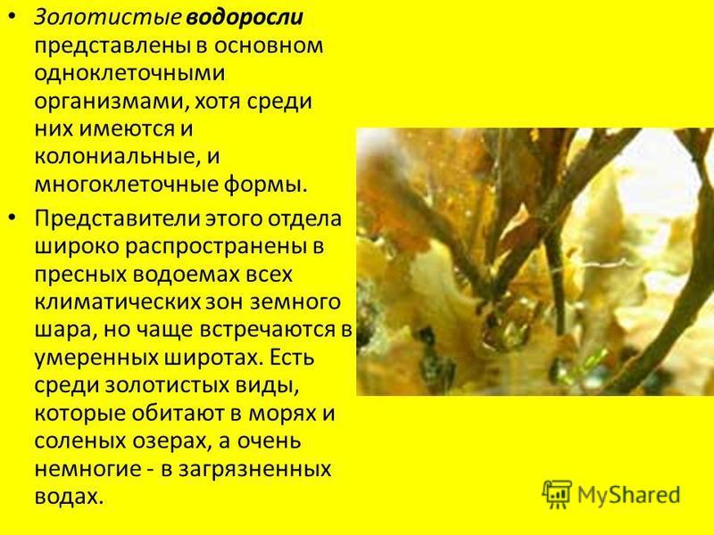 Золотистые водоросли представлены в основном одноклеточными организмами, хотя среди них имеются и колониальные, и многоклеточные формы. Представители этого отдела широко распространены в пресных водоемах всех климатических зон земного шара, но чаще в