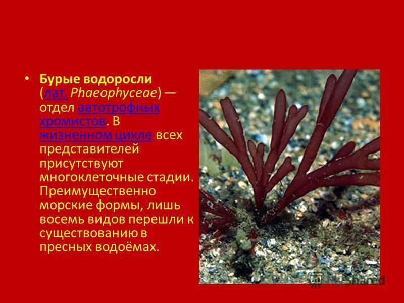Бурые водоросли (лат. Phaeophyceae) отдел автотрофных хромистов. В жизненном цикле всех представителей присутствуют многоклеточные стадии. Преимущественно морские формы, лишь восемь видов перешли к существованию в пресных водоёмах.лат.автотрофных хро