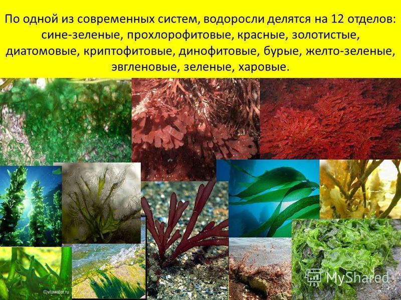 По одной из современных систем, водоросли делятся на 12 отделов: сине-зеленые, прохлорофитовые, красные, золотистые, диатомовые, криптофитовые, динофитовые, бурые, желто-зеленые, эвгленовые, зеленые, хановые.