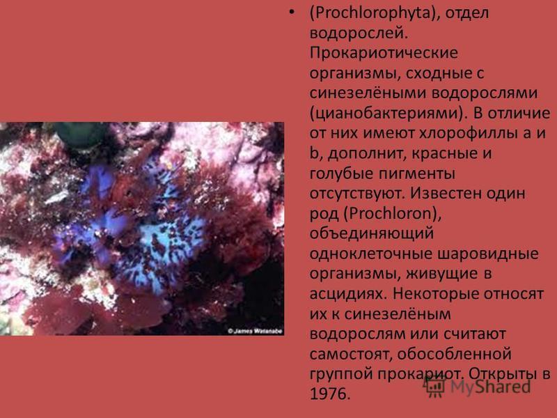(Prochlorophyta), отдел водорослей. Прокариотические организмы, сходные с синезелёными водорослями (цианобактериями). В отличие от них имеют хлорофиллы а и b, дополнит, красные и голубые пигменты отсутствуют. Известен один род (Prochloron), объединяю