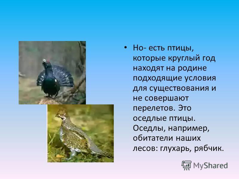 Но- есть птицы, которые круглый год находят на родине подходящие условия для существования и не совершают перелетов. Это оседлые птицы. Оседлы, например, обитатели наших лесов: глухарь, рябчик.