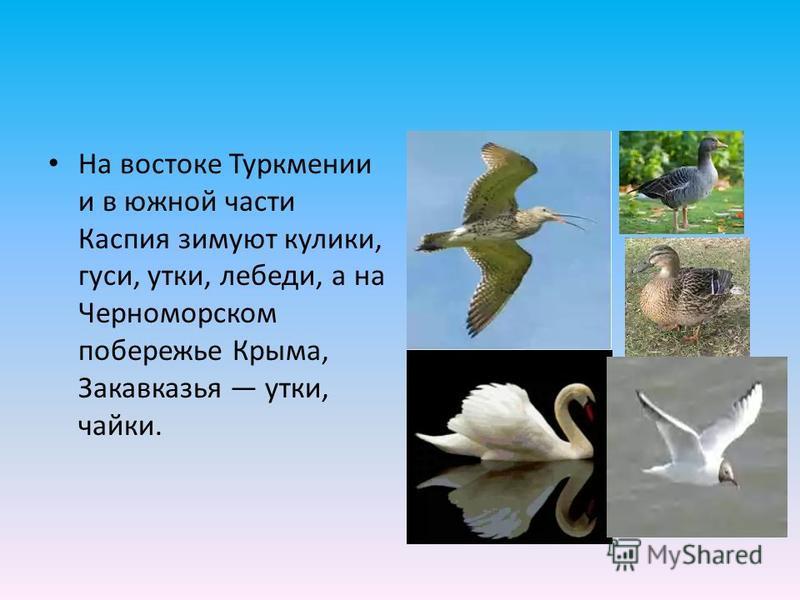 На востоке Туркмении и в южной части Каспия зимуют кулики, гуси, утки, лебеди, а на Черноморском побережье Крыма, Закавказья утки, чайки.