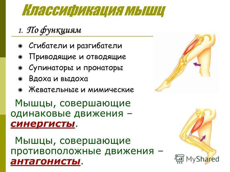 Классификация мышц 1. По функциям Сгибатели и разгибатели Приводящие и отводящие Супинаторы и пронаторы Вдоха и выдоха Жевательные и мимические Мышцы, совершающие одинаковые движения – синергисты. Мышцы, совершающие противоположные движения – антагон