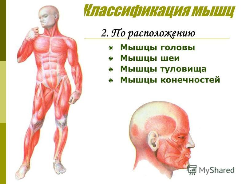 Классификация мышц 2. По расположению Мышцы головы Мышцы шеи Мышцы туловища Мышцы конечностей