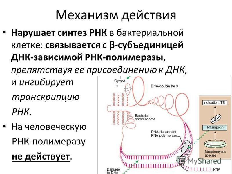 Механизм действия Нарушает синтез РНК в бактериальной клетке: связывается с β-субъединицей ДНК-зависимой РНК-полимеразы, препятствуя ее присоединению к ДНК, и ингибирует транскрипцию РНК. На человеческую РНК-полимеразу не действует.