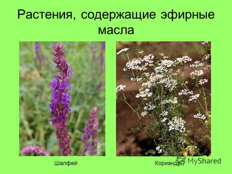 Растения, содержащие эфирные масла ШалфейКориандр