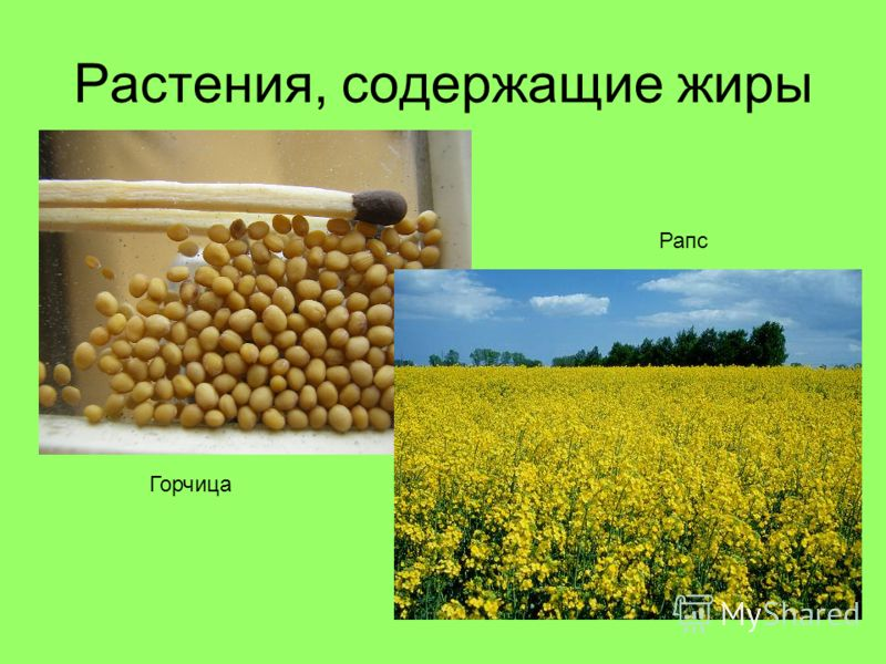 Растения, содержащие жиры Горчица Рапс