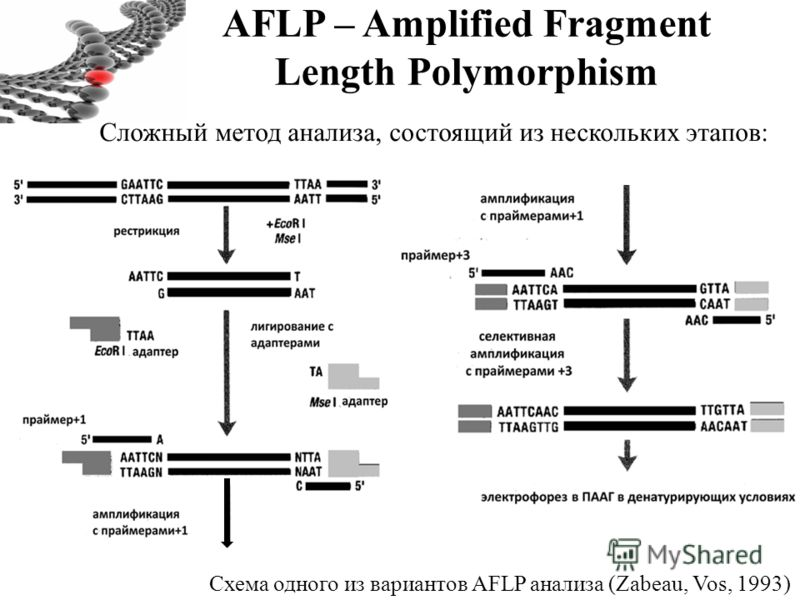 AFLP – Amplified Fragment Length Polymorphism Схема одного из вариантов AFLP анализа (Zabeau, Vos, 1993) Сложный метод анализа, состоящий из нескольких этапов: