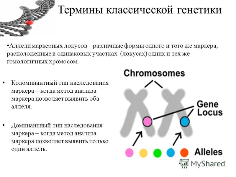Термины классической генетики Кодоминантный тип наследования маркера – когда метод анализа маркера позволяет выявить оба аллеля. Доминантный тип наследования маркера – когда метод анализа маркера позволяет выявить только один аллель. Аллели маркерных
