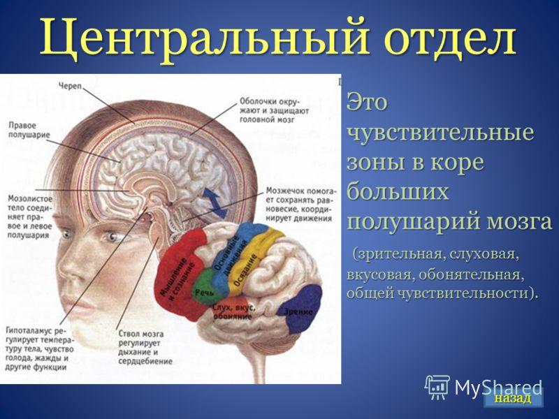 Центральный отдел Это чувствительные зоны в коре больших полушарий мозга (зрительная, слуховая, вкусовая, обонятельная, общей чувствительности). (зрительная, слуховая, вкусовая, обонятельная, общей чувствительности). назад