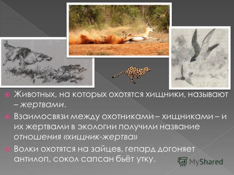 Животных, на которых охотятся хищники, называют – жертвами. Взаимосвязи между охотниками – хищниками – и их жертвами в экологии получили название отношения «хищник-жертва» Волки охотятся на зайцев, гепард догоняет антилоп, сокол сапсан бьёт утку.